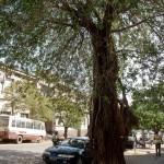 Maputo - Arbre remarquable sur Ho Chi Min